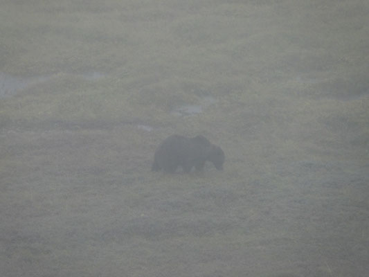Bear in the dust