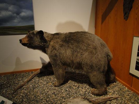 im Museum der University of Alaska (Schwarzbär)