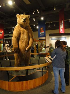im Museum der University of Alaska (Grizzly )
