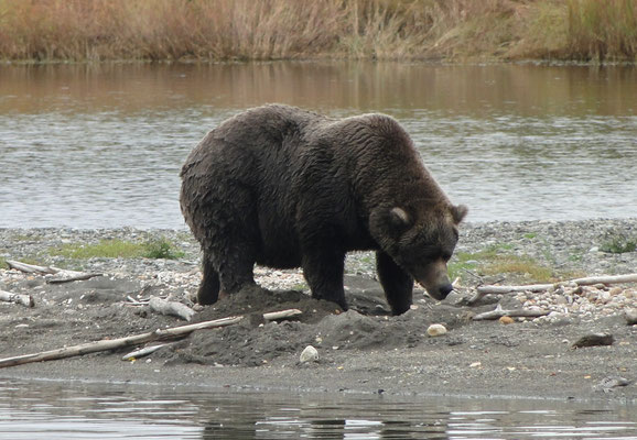 aber Bären hat es dennoch zur Genüge