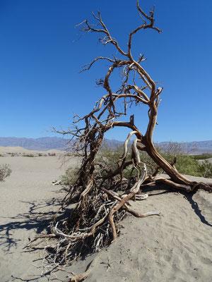 Mesquite Flat Sand Dunes (regnet hier wohl nicht allzu oft)