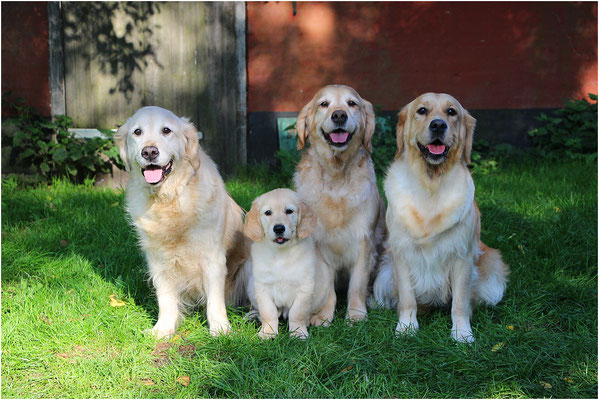 4 generaties. Golden Sun v.d. Mighty Goldens, Crazy Cutie Of Barnsley Gold, Barnsley Gold Hogmanay & Invisible Touch of Barnsley Gold