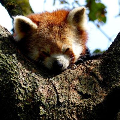 Roter Panda im Zoo Hellabrunn in München