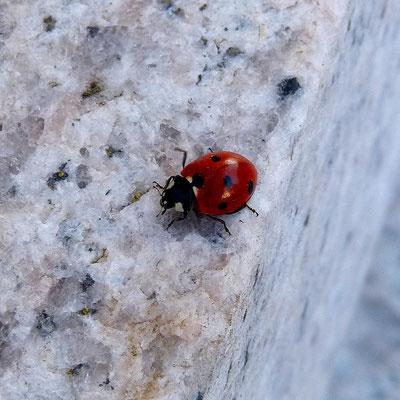 Marienkäfer auf einer Granittreppe