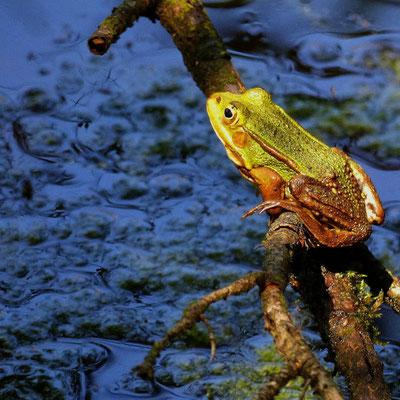 Frosch im Bad Wurzacher Ried