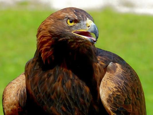 Adler 'Adonis' im Zoo Hellabrunn in München
