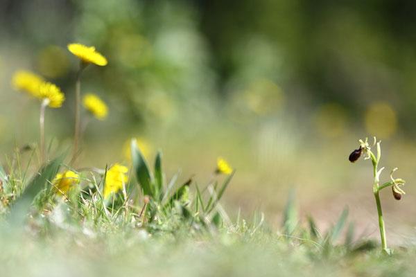 Ophrys araneola (Sud de la France)