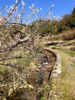 蛍が舞う小川沿いには梅の木。