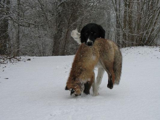Cibby mit Winterfuchs