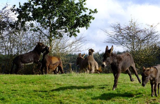 Alle 6 Esel toben ausgelassen auf der Weide.