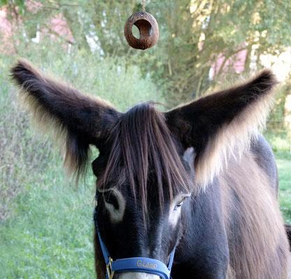 Hier stand Gismo für ein Foto Modell - die Kokosnuss sollte über den Ohren schwingen.