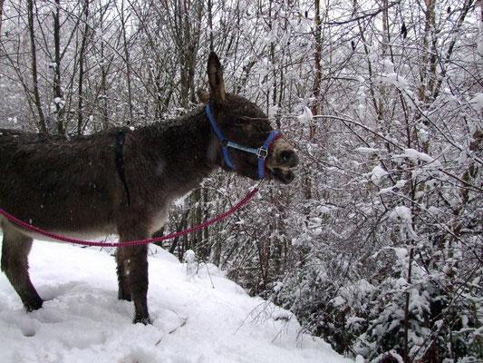 Auch Abraham nascht verschneite Zweige.