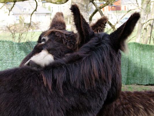 Als die Pflegerunde zu Ende war und das Fell wieder wunderschön strahlte, pflegten sich die Jungs noch ein wenig gegenseitig weiter.