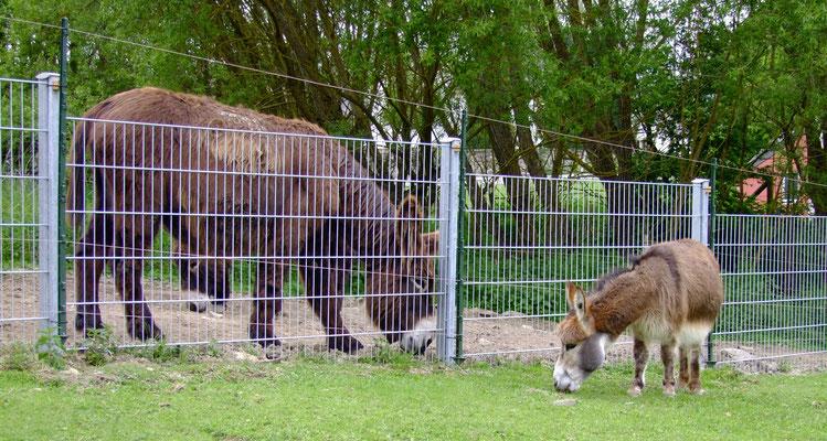 Gismo kann es immer noch nicht fassen, dass es sooooo süße Eselstuten gibt.