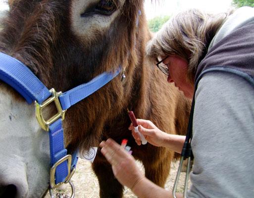 Tierärztin Maren Hessing nimmt bei Gismo Blut ab