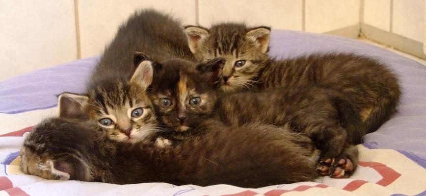 Die 4 Katzenbabys: Shalom, Habakuk, Rebecca & Schmendrik.