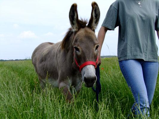 Die neue Besitzerin ist sich durchaus bewusst, wieviel Übergewicht sich der Esel beim Vorgänger angefuttert hat und wird sich dem Kampf gegen die Pfunde mit allen Mitteln stellen. Gut erzogen sind Spaziergänge auf Wegen mit hohem Grasbewuchs z. B. gar kei