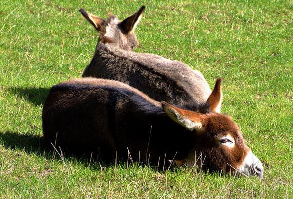 Die Esel halten einen kleinen Mittagsschlaf.