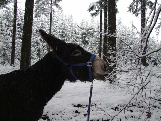 Da wir unterwegs kein Picknick einlegen werden, rasten wir hier und da im Stehen und geben Äste zum Knabbern frei. Gismo nascht daher im Wald an einer abgeknickten Birke.
