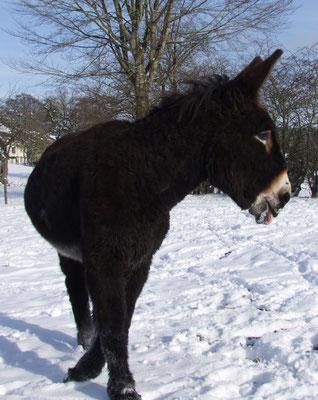 Léon leckt sich den Schnee vom Maul