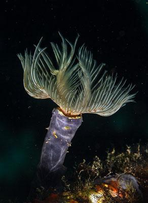 Protula tubularia, Glatter Kalkröhrenwurm