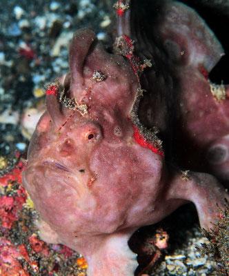 Warty Frogfish - Warzen-Anglerfisch - Antennarius maculatus