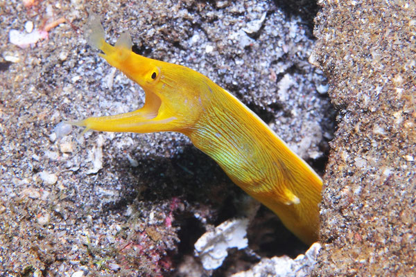 Ribbon eel - Nasenmuräne - Rhinomuraena quaesita