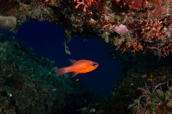Apogon imberbis, Roter Mittelmeer-Kardinalbarsch oder Meerbarbenkönig