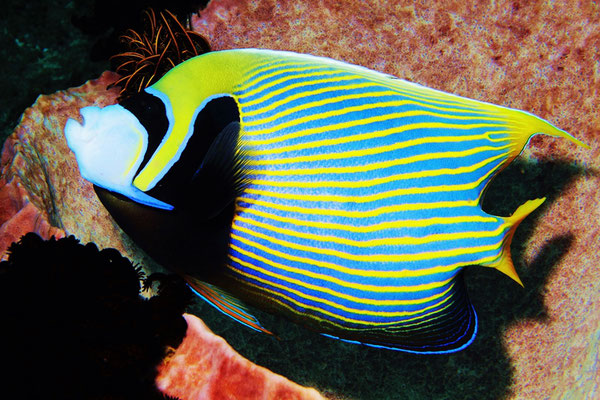 Emperor Angelfish - Imperator Kaiserfisch - Pomacanthus imperator