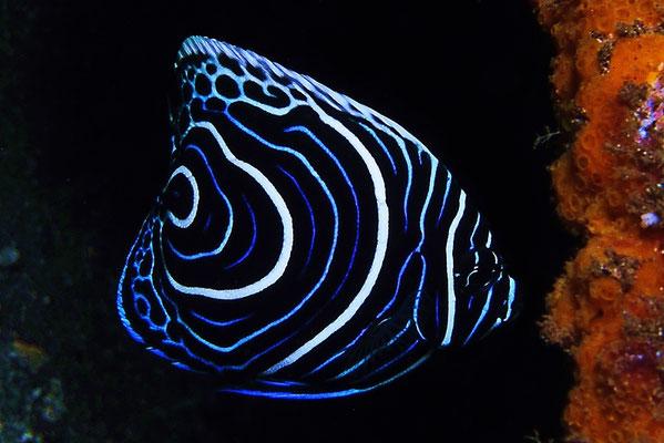 Juvenile Emperor Angelfish - Juveniler Imperator Kaiserfisch - Pomacanthus imperator