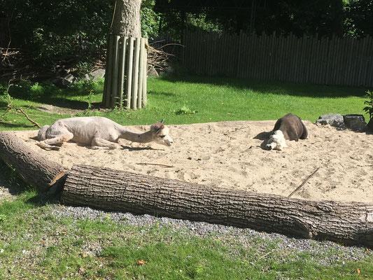 Alpakas beim Erholen