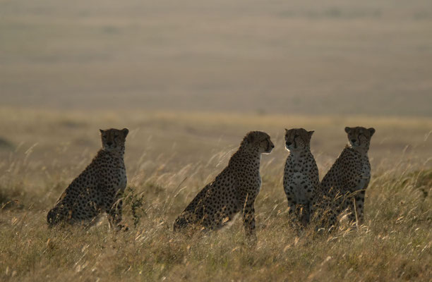 die 5 Gepardenbrüder des Masai Mara