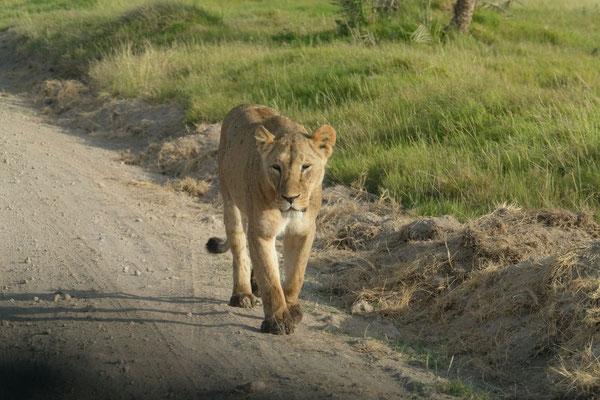 unsere Ersten Löwen...WOW...direkt neben unserem Auto