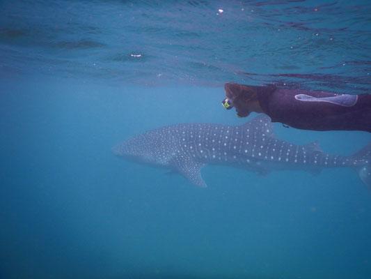 Drei Mal sind wir zu den Walhaien rausgefahren