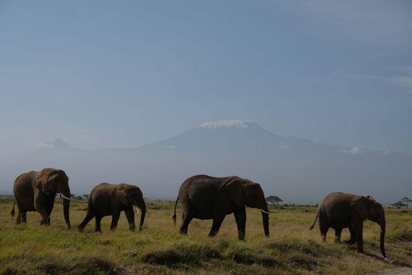 Postkartenmotiv...die Elefanten vor dem Kilimanjaro