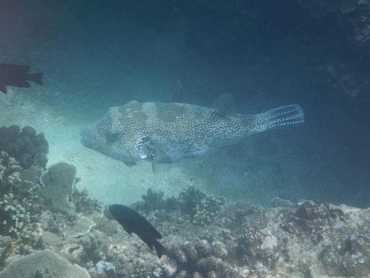 Puffer Fish (Kugelfisch)