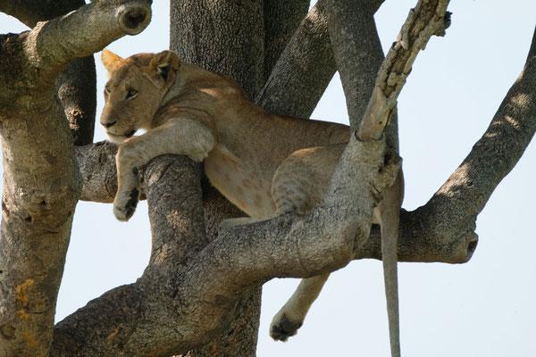 manche Löwen klettern auch in den Bäumen