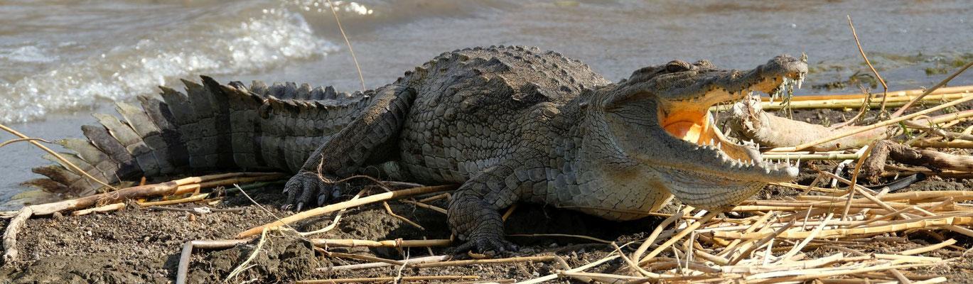 Krokodile zum greifen nah - das macht das Camping ein bisschen gruselig