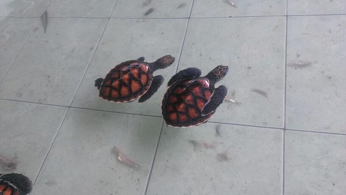 Mini Turtels in der Turtelaufzuchtstation...