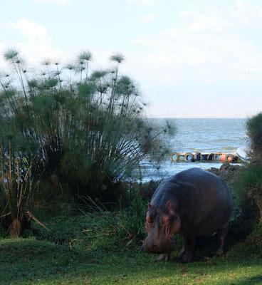 am Lake Naivasha kommen bei Sonnenuntergang die Flusspferde an Land