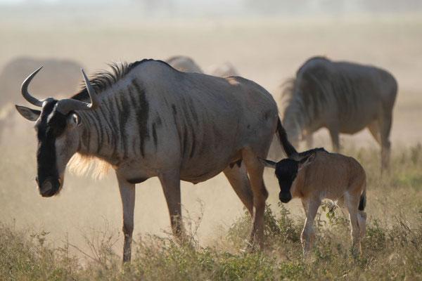 die berühmten Gnus...diese sind nicht auf großer Wanderung durch die Serengeti