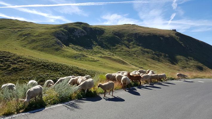 Les moutons sont les plus rapides... ça vous donne une idée de la vitesse des précédentes...