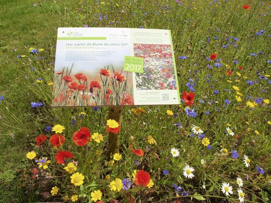 Inselpark, Blumenwiese mit Klatschmohn, der Blume 2017