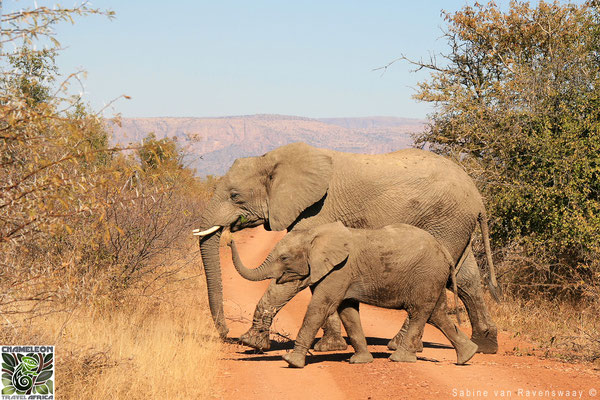 Elephant and calf in South Africa