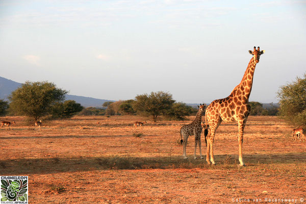 Giraffe and calf in South Africa