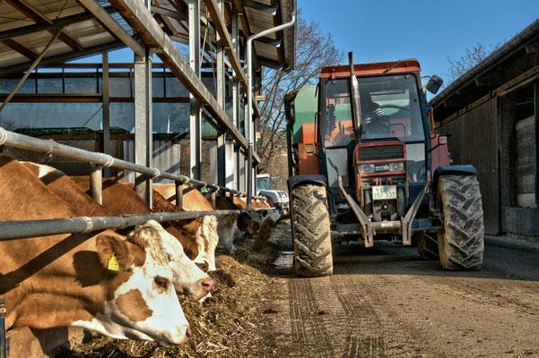 Nach dem Melken wird den Kühen frisches Futter vorgelegt.