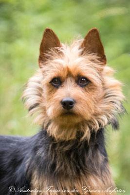 Australian Terrier und Deerhounds von den Grauen Anfurten