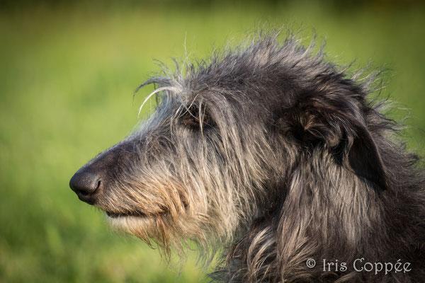 Deerhounds und Australian Terrier Von den Grauen Anfurten