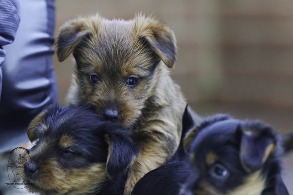 Australian Terrier von den Grauen Anfurten