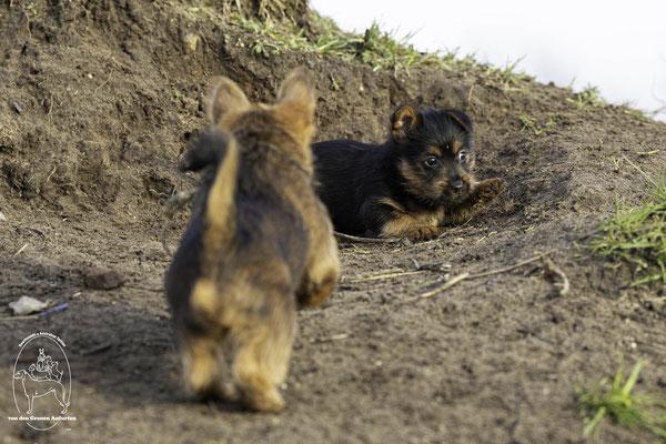 Auistralian Terrier von den Grauen Anfurten